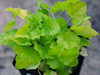 �urawka Heuchera  KEY LIME PIE